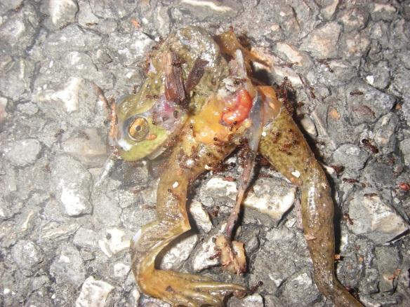 Frog Roadkill in Protected Area
