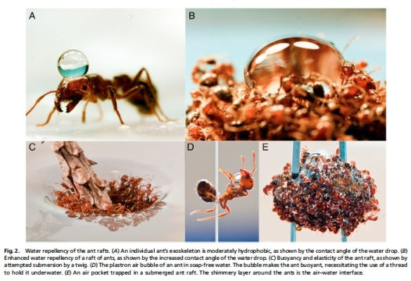 "Here is a figure from Nathan Mlot, Craig Tovey and David Hu's paper ""Fire ants self-assemble into waterproof rafts to survive floods"" in the Proceedings of the National Academy of Sciences. Available from http://bit.ly/qYBnRw"