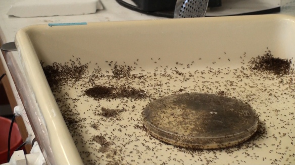 A tray of South American Red Imported Fire Ants (Solenopsis invicta) from the Fire Ant Lab at Brackenridge Field Laboratory