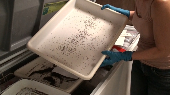 A tray of fire ants is immobilized in the deep freezer.